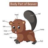 Diagram pokazuje części ciałej bóbr ilustracja wektor