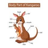 Diagram pokazuje części ciałej kangur royalty ilustracja