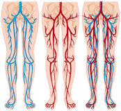 Diagram showing blood vessels in human. Illustration Royalty Free Stock Images