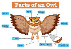 Diagram showing different part of owl Stock Photos