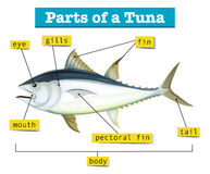 Diagram showing different parts of tuna. Illustration Royalty Free Stock Photos
