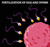 Diagram showing fertilization of egg and sperm. Illustration Royalty Free Stock Image