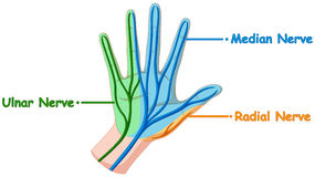 Diagram showing hand nerve Royalty Free Stock Photos