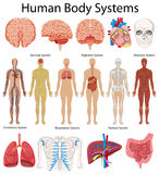 Diagram showing human body systems. Illustration Stock Photos