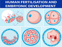 Diagram showing human fertilisation and embryonic development Stock Image