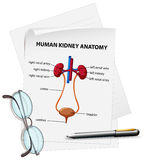 Diagram showing human kidney anatomy on paper Royalty Free Stock Photo