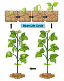 Diagram showing life cycle of bean Stock Images