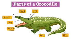 Diagram showing parts of crocodile royalty free illustration