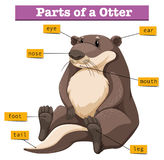 Diagram showing parts of otter. Illustration Royalty Free Stock Image