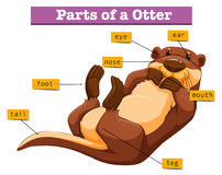 Diagram showing parts of otter. Illustration Stock Images