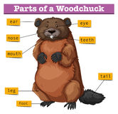 Diagram showing parts of woodchuck Stock Photography