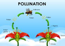 Free Diagram Showing Pollination Cycle Stock Photos - 162136983