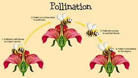 Free Diagram Showing Pollination With Bee And Flowers Stock Photography - 165346872