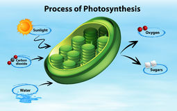 Diagram showing process of photosynthesis Stock Images