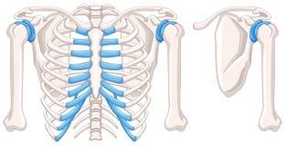 Diagram showing shoulder bones Royalty Free Stock Photography