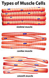 Diagram showing types of muscle cells Stock Images