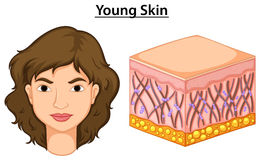 Diagram showing young skin in human Stock Photo