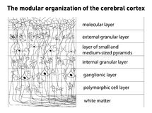 Diagram of the structure of the cerebral cortex. Vector stock illustration