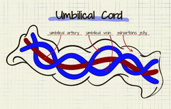 Diagram of the structure of human cord umbilikalis Royalty Free Stock Images