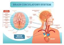Diagrama anatômico da ilustração do vetor do sistema circulatório do cérebro Esquema da rede do vaso sanguíneo de cérebro humano ilustração royalty free