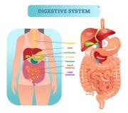 Diagrama anatômico humano da ilustração do vetor do sistema digestivo com órgãos internos ilustração stock