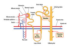 Diagrama da ação renal da droga Imagens de Stock Royalty Free