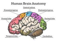 Diagrama da anatomia do cérebro humano ilustração do vetor