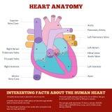 Diagrama da anatomia humana do coração ilustração royalty free