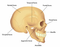 Diagrama de la anatomía de un cráneo Fotos de archivo