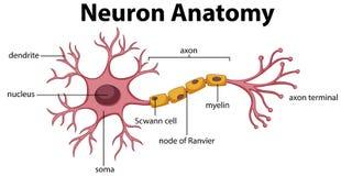 Diagrama de la anatomía de la neurona ilustración del vector