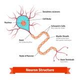 Diagrama de la célula de la neurona del cerebro Fotos de archivo libres de regalías