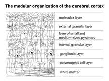 Diagrama de la estructura de la corteza cerebral stock de ilustración