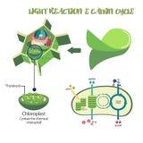 Diagrama de proceso de la fotosíntesis Fotos de archivo