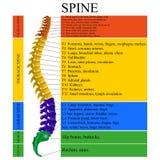 Diagrama de uma espinha humana com o nome e a descrição de todas as seções das vértebras, ilustração do vetor Fotografia de Stock Royalty Free