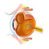 Diagrama del ojo humano Imagen de archivo