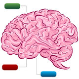 Diagrama do cérebro humano ilustração royalty free