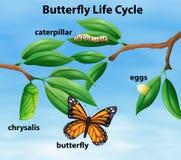 Diagrama do ciclo de vida da borboleta ilustração stock