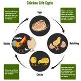 Diagrama do ciclo de vida da galinha ilustração stock