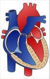 Diagrama do coração Foto de Stock Royalty Free