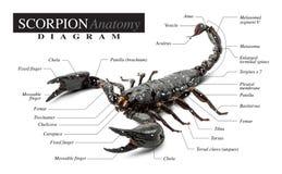 Diagrama do escorpião fotografia de stock