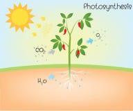 Diagrama do vetor da fotossíntese ilustração royalty free