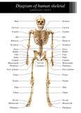 Diagrama esquelético humano Fotografía de archivo libre de regalías