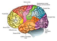 Diagrama funcional del cerebro humano Imagenes de archivo