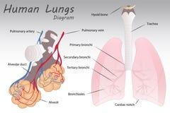 Diagrama humano de los pulmones stock de ilustración