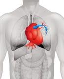 Diagrama humano do coração em detalhe Imagem de Stock