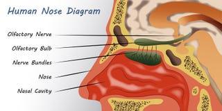 Diagrama humano do nariz ilustração do vetor