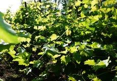 Diagrama para las uvas crecientes La luz del sol ilumina las hojas Detalles y primer fotos de archivo