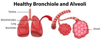 Diagrama que mostra o bronchiole e os alvéolos saudáveis ilustração royalty free