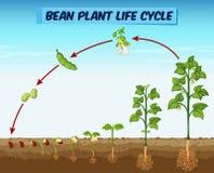 Diagrama que mostra o ciclo de vida vegetal do feijão ilustração royalty free