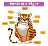 Diagrama que mostra partes do tigre ilustração stock